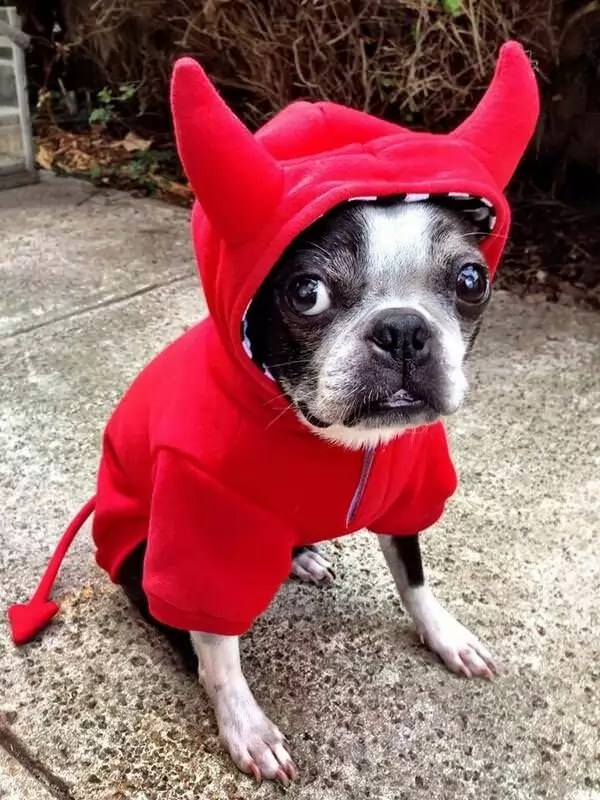 10 Costumes That Prove Boston Terriers Always Win At Halloween