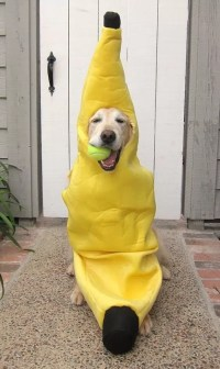 17 Best Labrador Halloween Costume Ideas