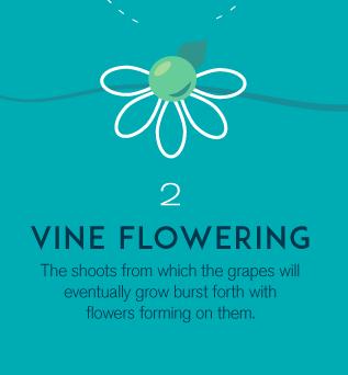 2-vineflowering