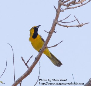 """Hooded Oriole  Batiquitos 2015 04 14-1.CR2"""