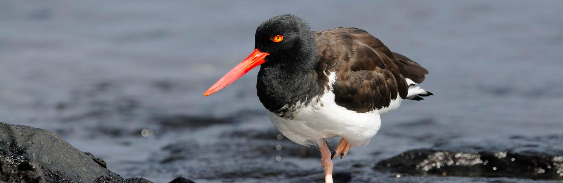 American-Oystercatcher-by-Reinier-Munguia-HEADER