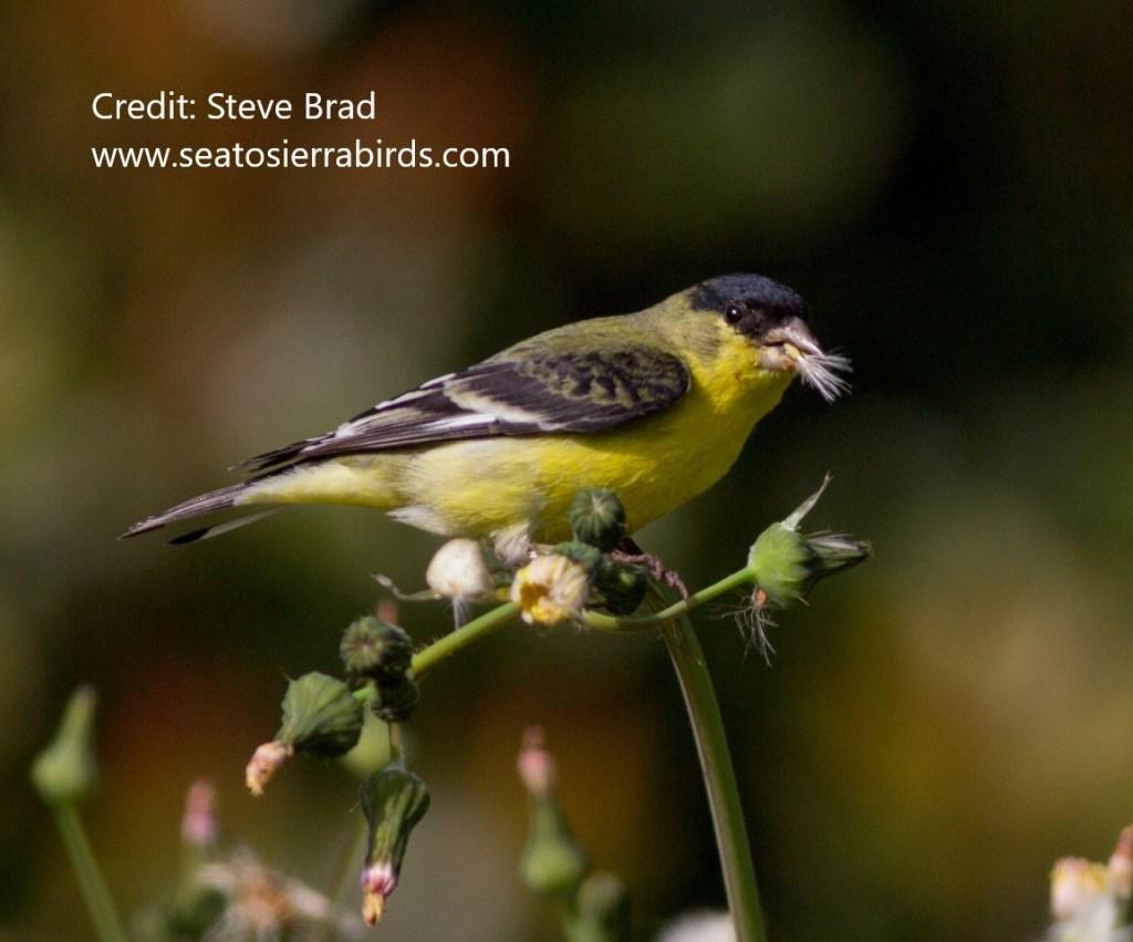 Lesser Goldfinch Aviara 2011 12 11 (3 of 5)-X2