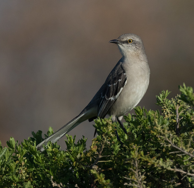 Northern Mockingbird Carlsbad 2020 01 23-1.CR2