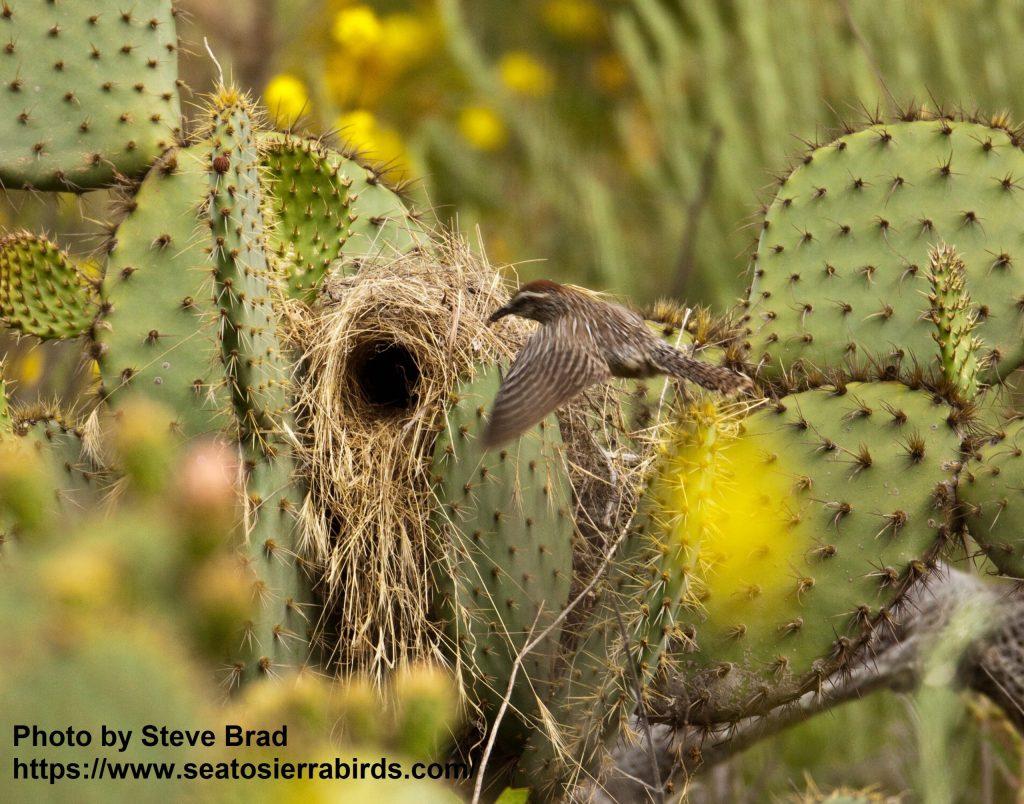 Cactus Wren Camp Pendleton 2010 04 24-6.CR2