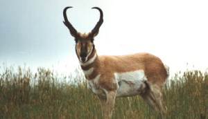 Pronghorn -Antelope are the game in the West that everyone should have on their wall. Not as easy as some think to hunt!  Cobra
