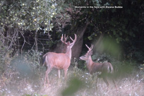 A great shot at 2015 hour at about 60 yards. They were busy eating apples on a tree I did not know about. Oregon City area.