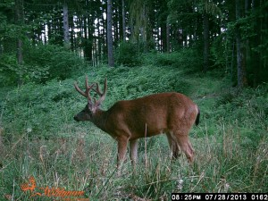 This is a picture of the Odd 3 X 3 in the velvet.  He would be arrowed within 5 yards of this spot!