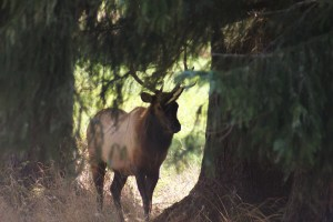 This picture was taken on 9-4-2013 at the Oregon Coast. This bull was working the Douglas Fir, but what you don't see is another bull on the other side. The were thinking about taking each other on. More Show that anything else.
