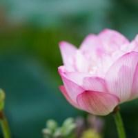Lotus - Flower of Macau