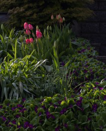 Tulips, and some I don't know