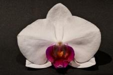 Orchid, Phalaenopsis, 14 macro shots, focus stacked