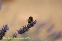 More bees on lavender
