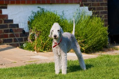 Clip your poodle to look like a bedlington terrier