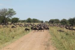 Serengeti Great Migration