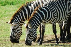 Zebras Eating Grasses in Manyara National Park