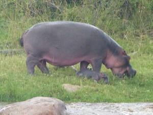 Hippopotamus in Field