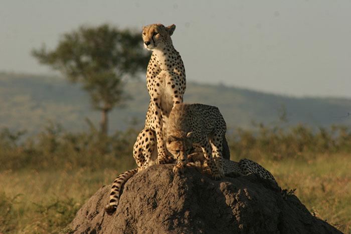 Tanzania Wild Tiger Safari