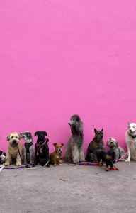 Image of dogs sat against pink wall, wearing leads as if waiting to be walked
