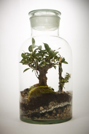 Meadow-XL-Ficus-Retusa-Bons_1024x1024