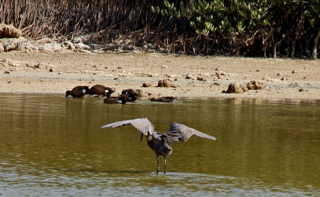 Birding At The Bay Of Pigs Back Yard Biology
