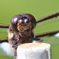 Dragonflies Eye Diagram Galls Wig Wag Wiring Dragonfly Head Back Yard Biology