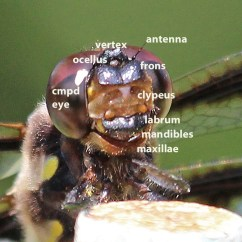 Dragonflies Eye Diagram Rs 485 Wiring Dragonfly Back Yard Biology Page 2 12 Spotted Skimmer Head Labeled