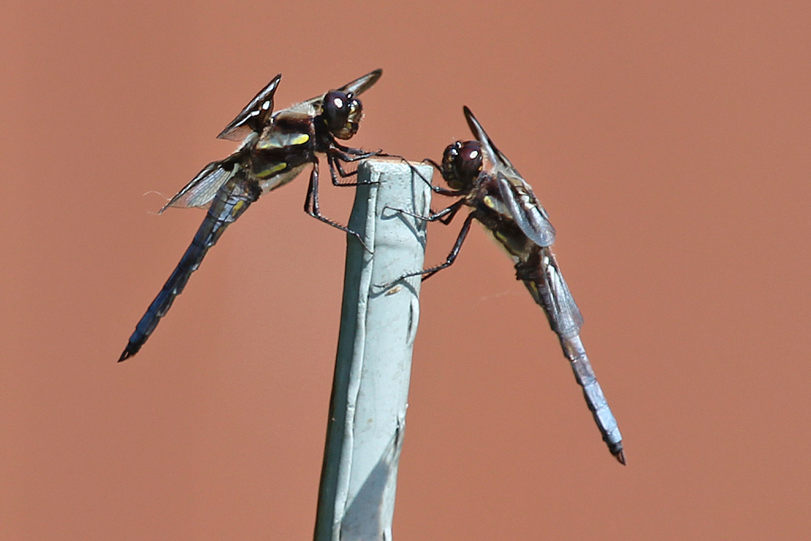 dragonflies eye diagram gigabit switch wiring dragonfly mouthparts back yard biology
