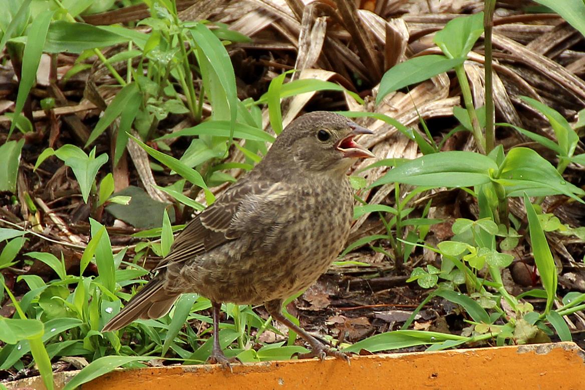 Nest Parasitism Back Yard Biology