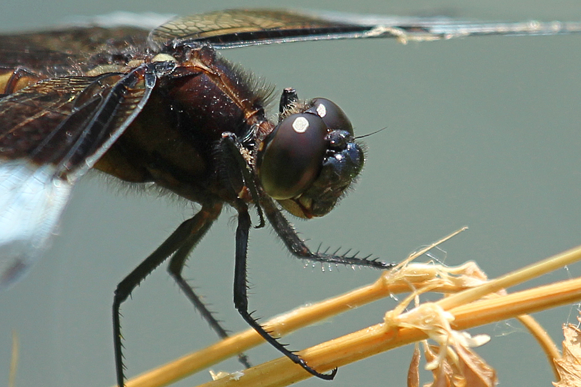 dragonflies eye diagram ford 4000 ignition switch wiring dragonfly back yard biology