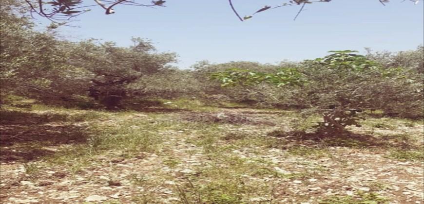 Land for Sale Toula Batroun Area 1085Sqm