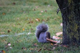Squirrel with pizza3