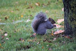 Squirrel with pizza4