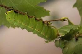 caterpillar2