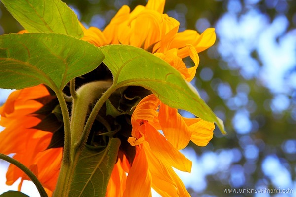Sunflower_from_behind-unknownmami