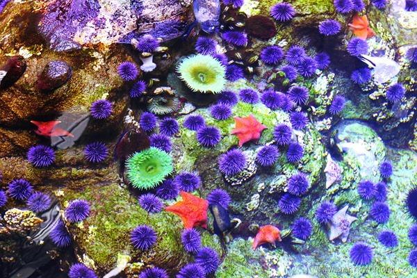 California Academy of Sciences anemones