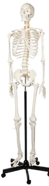 a skeleton model is a great medical school gift