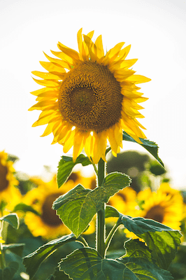 a sunflower to represent the serendipitous benefits of Infertility