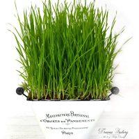 Cum crestem iarba de grau pentru suc si pentru decor