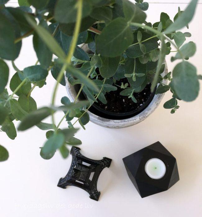 Lykke med nye planter – eucalyptus