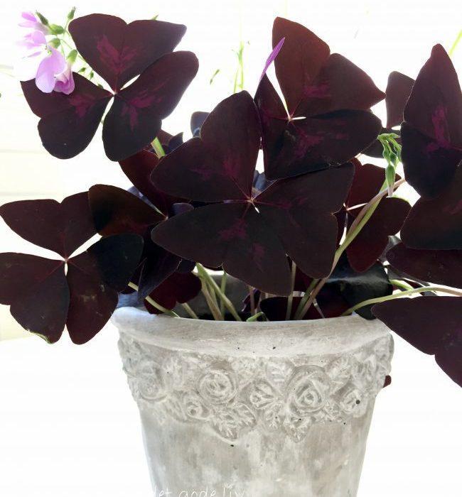 Vakker rødkløver – Oxalis triangularis