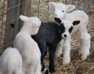 Lambies_4