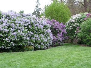 prune spring flowering