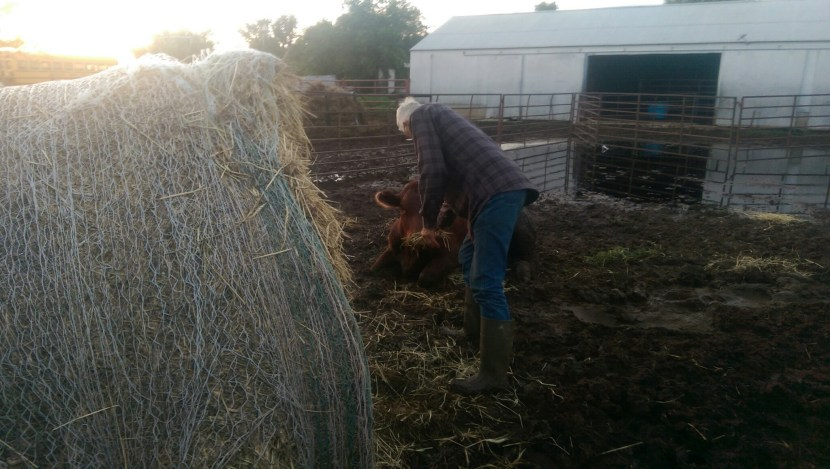 Father Working Cattle