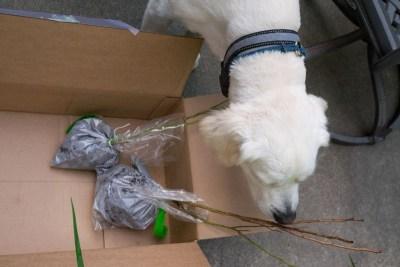 Buddy Inspects new blueberry plants 2