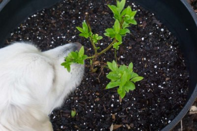 Buddy smells New Growth on Blueberry Plant