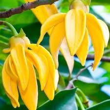 ylang ylang flower ready to distill