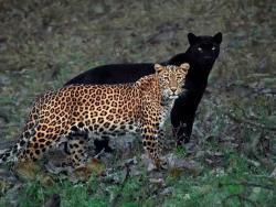 Arti Mimpi Seputar Macan Tutul Menurut Primbon Jawa