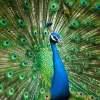 Arti Mimpi Burung Merak Menurut Pertanda Kecantikan