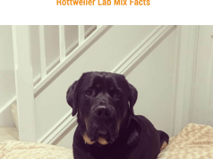 Is the Lab Rottweiler the Right Dog for You?