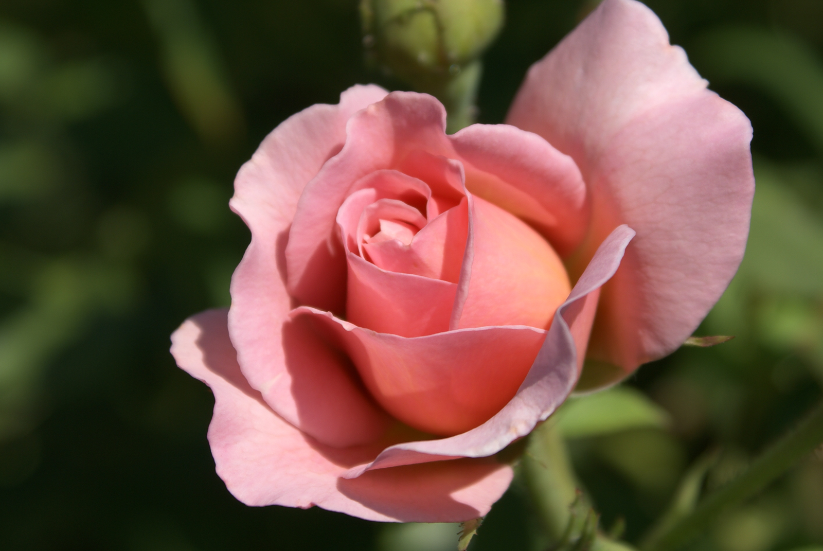https://i0.wp.com/bythedrop.com/gallery/var/albums/plants-flowers/roses/Rose-English-Belle-Story-Blooming-Pink-Petals-Yellow-Center.jpg